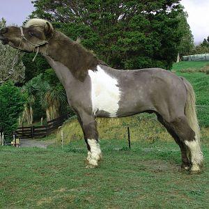 Savvy the gelding