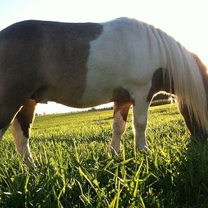 Bucky grazing
