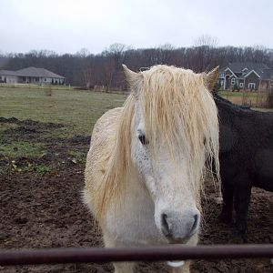 KGL Undisputeds Risky Business Sire of Aaprina in Russians Kazam's 2013 foal