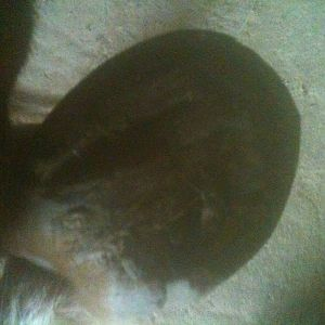 Kody's left fore hoof bottom 3 days post trim
