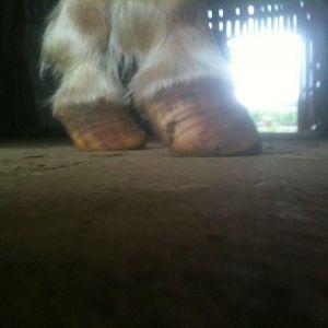 Redman front hooves 3 days post trim