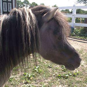 Dusty Lane Vegas Bet a Buck, grullo stallion (homozygous dun)