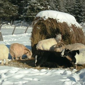Basking in the sun with his goat friends