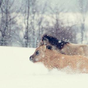 Buckskins in the Snow