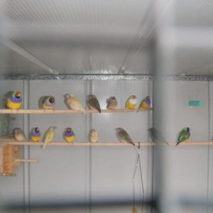 Finches In Temporary Home.
