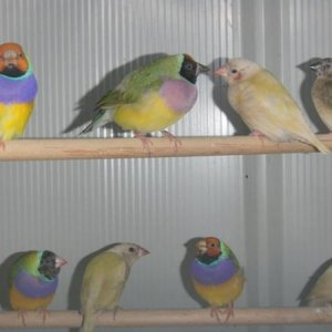 Some young normals & yellow backs & some 2 year old cocks.