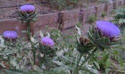 small artichoke blooms 2.jpg