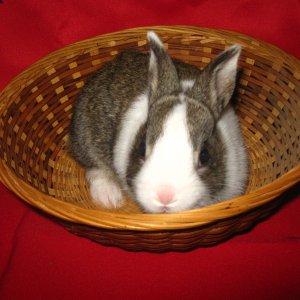 rabbits and chinook 009