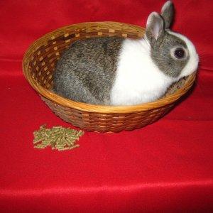 rabbits and chinook 010