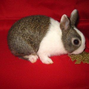 rabbits and chinook 008