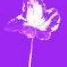 purpleivy