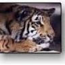 Tiger Jay