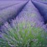 Lavender lovely
