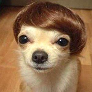 chihuahua toupee LOL