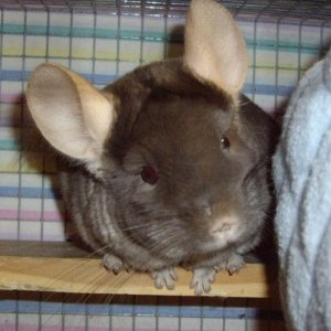 Chinchillas, love em! Have 15 :) hehe This is Olly x