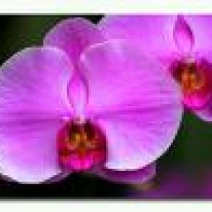 pinkorchid