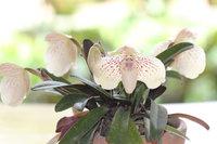 Paphiopedilum leucochilum (2).JPG