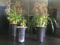 Japanese Cymbidium goeringii display 日本春蘭の展示.jpeg