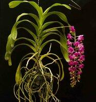Aerides quinquevulnera hybrid 3.jpg