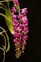 Aerides quinquevulnera hybrid 4.jpg