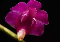 Aerides quinquevulnera hybrid 9.jpg
