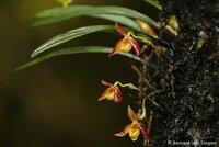 dsc4411ephiphytic-slipper-orchid-flowergenus-paphiopedilumbaliem-valley-pondok-tigawest-papua4...jpg