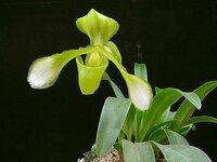 tigrinum alba1.jpg