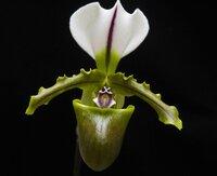 Paphiopedilum spicerianum1.jpg