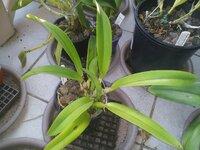 C. dowiana var. aurea_scoria_Sun-1-Nov2020.jpg