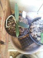 Sedirea japonica_2_29-Nov2020.jpg
