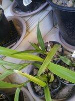 Spathoglottis plicata_Encyclia radiata_29-Nov2020.jpg