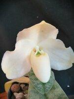 P.wellesleyanum alba3 (1).jpg