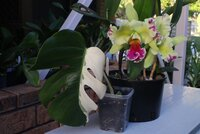 Monstera and Rlc. Memoria Helen Brown 'Sweet Afton m. Splash'_20-Dec2020.jpg