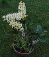Dendrobium speciosum a.JPG