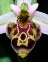 Ophrys scolopax face.jpg