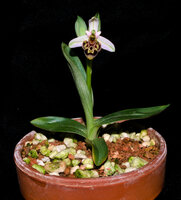 Ophrys scolopax plant.jpg