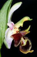 Ophrys scolopax profile.jpg