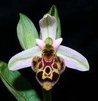 Ophrys scolopax.jpg