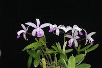 Cattleya intermedia.JPG