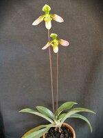 P.appletonianum (2).jpg