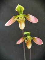 P.appletonianum.jpg