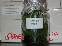 paph & phrag cross.JPG