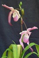 Phrag-FrankSmith-2 flowers-rsz.JPG