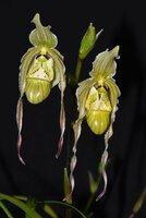 Phrag-pearcii-2 flowers-rsz.JPG