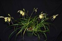 Phrag-pearcii-whole plant-rsz.JPG