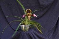 Paph-hirsutissimum-plant-rsz.JPG