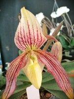 P.Wellesleyanum x philippinense.jpg