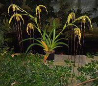 Phragmipedium Majestic Tresses 'Franz - caudatum x humboldtii)  68 cm 2021 - 05 - 16 h.jpg