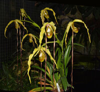 Phragmipedium Majestic Tresses 'Franz - caudatum x humboldtii)  68 cm 2021 - 05 - 16 e.jpg