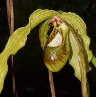 Phragmipedium Majestic Tresses 'Wössen' - caudatum x humboldtii) 2021 - 05 d.jpg